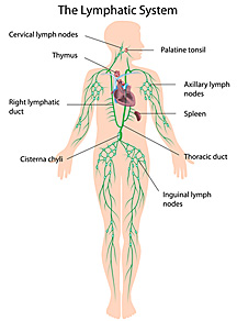 Herbs That Cleanse the Lymphatic System