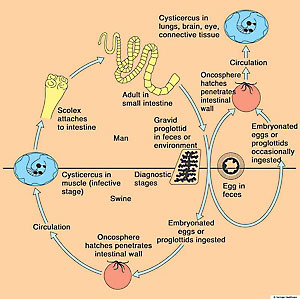 Tapeworm Life Cycle